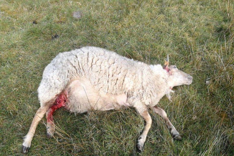 dood schaap 2 - De Hoeder