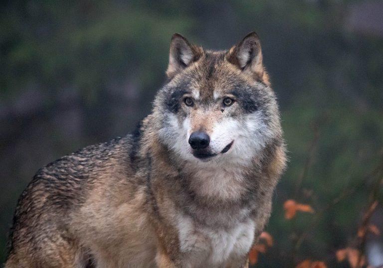 Canis lupus 83, Wolf, Saxifraga-Bart Vastenhouw FreeNaturerImages